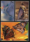 monarch butterfly development