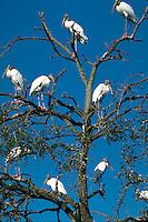 Wood Stork, Busch Gardens, Tampa, Florida