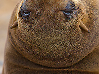 Abstract portrait of an adult female Cape Fur Seal with her head thrown backwards