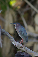 Green Heron seen on its feeding ground.