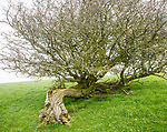 Twisted misshaped hawthorn tree bent over by wind on top of chalk down grassland, Vale of Pewsey, Wiltshire, England, Uk