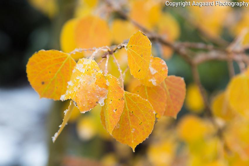 Early snow on aspen leaves, near Dream Lake, Rocky Mountain National Park