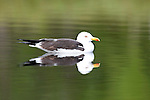Great Black Backed Gull, Larus marinus, Kuhmo, Finland, Lentiira, Vartius near Russian Border, swimming on lake, reflection in water