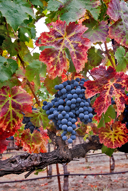 Cabernet grapes ready for harvest