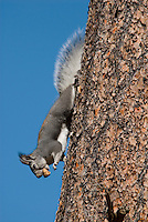 Abert's Squirrel (Sciurus aberti) with truffle.  South Rim, Grand Canyon, Arizona.