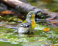 Male northern parula
