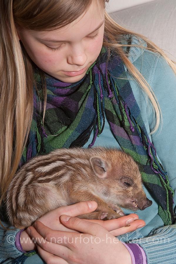 Wildschwein, verwaistes, pflegebedürftiges, in Menschenhand gepflegtes, zahmes Jungtier lebt mit im Haus, Wild-Schwein, Schwarzwild, Schwarz-Wild, Frischling, Junges, Jungtier, Tierkind, Tierbaby, Tierbabies, Schwein, Sus scrofa, wild boar, pig