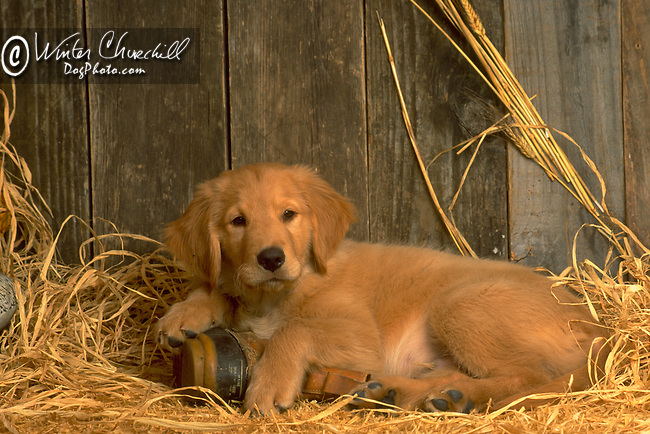 Golden Retriever puppy<br /> <br /> <br /> <br /> Shopping cart has 3 Tabs:<br /> <br /> 1) Rights-Managed downloads for Commercial Use<br /> <br /> 2) Print sizes from wallet to 20x30<br /> <br /> 3) Merchandise items like T-shirts and refrigerator magnets