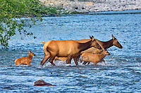 Roosevelt Elk (Cervus canadensis roosevelti) cows with calves, sometimes called Olympic Elk, fording river.  Olympic National Park, WA.  June.