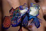 A pair of mating Mandarinfish (Synchiropus splendidus), Yap Island, Palau, Micronesia. The male is the larger of the two fish. When Mandarinfish mate, the mating takes place around sunset. Considered by many to be among the world's most beautiful fishes, the realtively small mandarinfish are members of the dragonet family (Callionymidae).