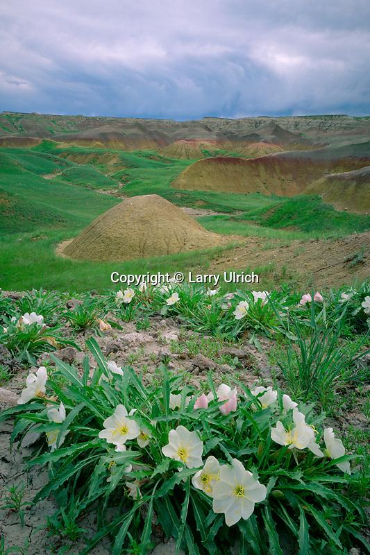 Gumbo evening-primrose<br /> Yellow Mounds Area<br /> Badlands National Park<br /> South Dakota