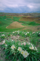 Gumbo evening-primrose<br />
