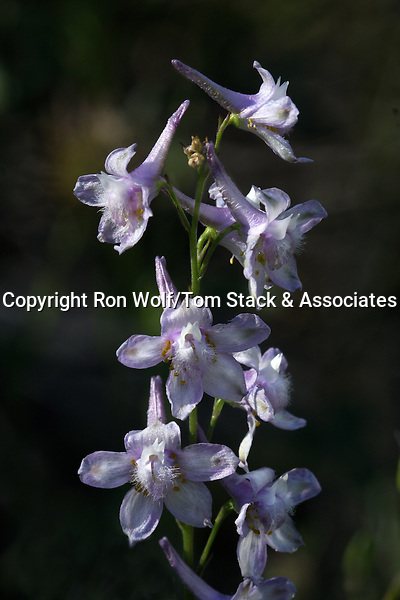 Hansen's Delphinium (Delphinium hansenii). Hetch Hetchy Valley. Yosemite National Park. Tuolumne Co., Calif.