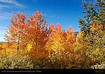 Aspens, Jackson Lake area, Grand Teton National Park, Wyoming