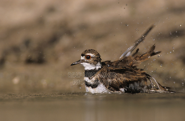 Killdeer, Charadrius vociferus, adult bathing, Starr County, Rio Grande Valley, Texas, USA