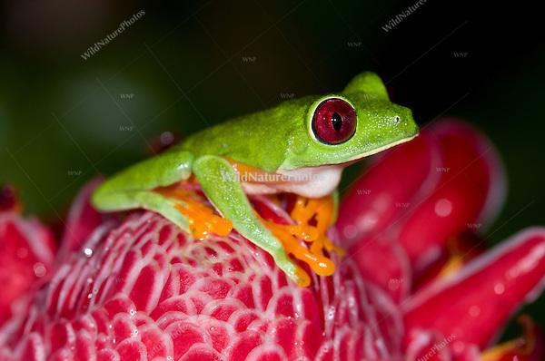 A Red-eyed Tree Frog (Agalychnis callidryas) on Torch Ginger (Etlingera elatior), Bocas del Toro, Panama