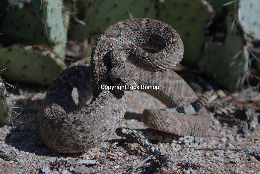 Western Diamondback Rattlesnake seen coiled and ready to strike, in southern Arizona's, Saguaro National Park.