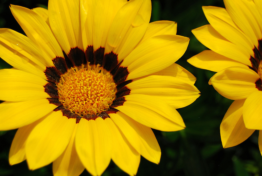 close up macro flower photography with bright yellow petals and, Beautiful flower