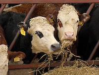 Richard Findlay and William Wardman. Beef feature.<br /> <br /> Suckler cows on William Wardman's farm.