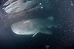 Kalhufahalafushi Island, Thaa Atoll, Maldives; a Whale Shark (Rhincodon typus) feeding on plankton in the lights behind the boat at night