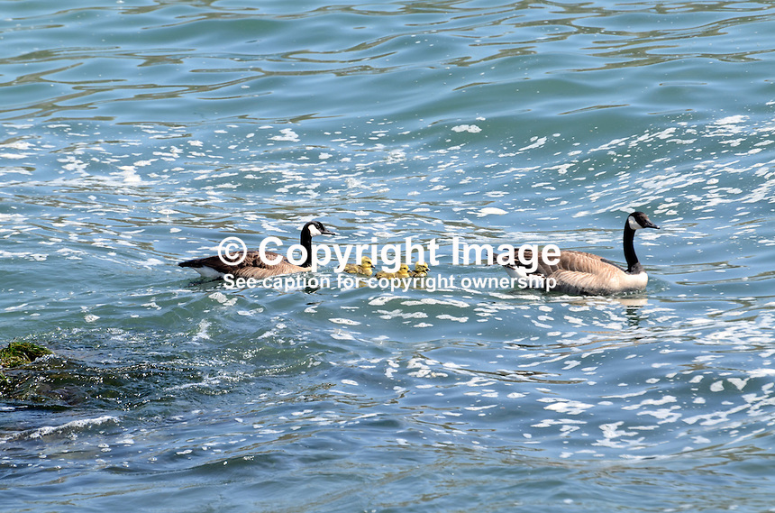 A pair of Canadian Geese (aka Canada Geese) swimming with their chicks in the Pacific Ocean, near Jenner, Sonoma County, California, USA. It is easily recognised with its distinctive a black head and neck, white patches on its face, and a brownish-gray body. 201304292081<br /> <br /> Copyright Image from Victor Patterson, 54 Dorchester Park, Belfast, UK, BT9 6RJ<br /> <br /> Tel: +44 28 9066 1296<br /> Mob: +44 7802 353836<br /> Voicemail +44 20 8816 7153<br /> Skype: victorpattersonbelfast<br /> Email: victorpatterson@me.com<br /> Email: victorpatterson@ireland.com (back-up)<br /> <br /> IMPORTANT: If you wish to use this image or any other of my images please go to www.victorpatterson.com and click on the Terms &amp; Conditions. Then contact me by email or phone with the reference number(s) of the image(s) concerned.
