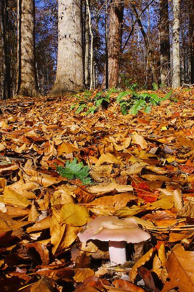 Polypore Mushroom, North Carolina, USA
