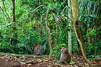 Bali, Gianyar, Ubud. Some of the approximately 340 macaque monkeys in the monkey forest.