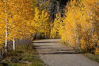 A mountain road winds through changing Aspen trees in colorado.