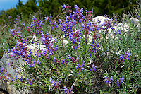 Wild Sage (Salvia) plantrs on the island of Pag Croatia