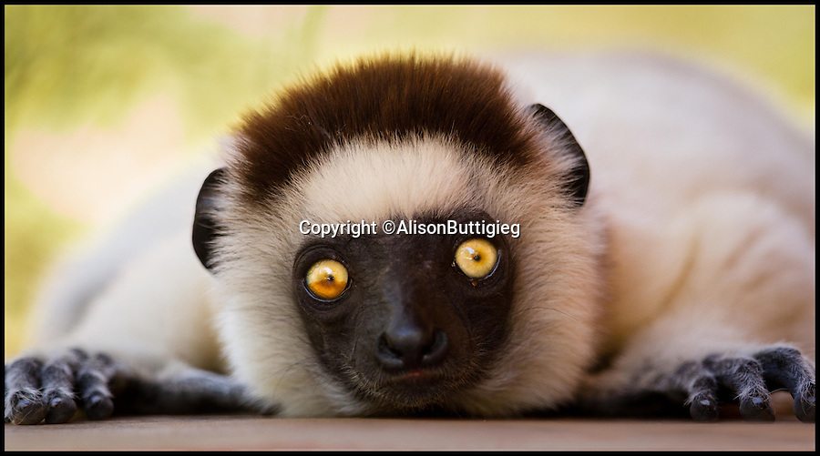 """BNPS.co.uk (01202 558833)<br /> Pic: AlisonButtigieg/BNPS<br /> <br /> ***Pleae Use Full Byline***<br /> <br /> A Verreaux Sifaka, who habitats in Madagascar.<br /> <br /> With video.<br /> <br /> <br /> verreaux's sifaka<br /> <br /> This is the hilarious moment a group of lemurs scrambled down a tree and burst into a fantastic dance display.<br /> <br /> The primates had been eating berries from the top of the tall bark when they decided to cross a dirt road to a cluster of other trees.<br /> <br /> As they landed on the ground each one burst into an array of impressive dance moves, including twirls, jumps, spins and stretches.<br /> <br /> They boogied their way across the track without stopping and even performed a few acrobatic stunts.<br /> <br /> The elaborate routine only stopped when they reached another trunk and scrambled up to the top.<br /> <br /> The whole thing was captured on camera by Allison Buttigieg, who was watching the lemurs' antics with her boyfriend, Olli Teirila.<br /> <br /> The couple were enjoying a holiday on the island of Madagascar in the hope of photographing the dancing, made famous by the animated DreamWorks film.<br /> <br /> Allison, 34, from Helsinki in Finland, said: """"Part of the reason I wanted to go to Madagascar is because they have lemurs there that look like they are dancing.<br /> <br /> """"We went to a spot where there were a group of them up in the trees and waited for many hours for them to move.<br /> <br /> """"Normally they jump from tree to tree but they had to cross a dirt road, so we were waiting for them to do that.<br /> <br /> """"Eventually they came down from the trees and started doing their little dance.<br /> <br /> """"They are adapted to the trees and they can't crawl so this is why they do it.<br /> <br /> """"I had seen them doing it on documentaries before and I had always said I wanted to go and see them for myself and take photos.<br /> <br /> """"It was very amusing and looked so funny, taking pictures was hard be"""