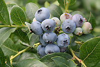 Ripe blueberries on bush South Haven Michigan