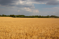 Field of Winter barley ready for harvest<br /> &copy;Tim Scrivener Photographer 07850 303986<br />      ....Covering Agriculture In The UK....
