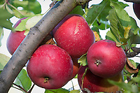 """Fruit cluster of red apples 'Red Rome"""" in autumn (fall) on tree at Filoli Garden"""