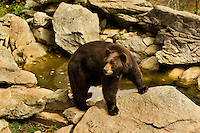 A black bear pauses while walking through the black bear wildlife habitat at Grandfather Mountain in the North Carolina mountains (Blue Ridge Parkway area). Grandfather Mountain is a scenic travel attraction and one of the world's most environmentally diverse nature preserves. At Grandfather Mountain's wildlife habitats, visitors get an up-close perspective of black bears and other animals as they live in the wild. Grandfather Mountain is about a two-hour drive from Charlotte, NC.