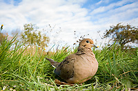 mourning dove, Zenaida macroura, on the ground wide angle Zenaida macroura