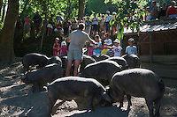 Europe/France/Midi-Pyrénées/65/Hautes-Pyrénées/Vignec: Elevage porcin de porcs noirs de Bigorre de la Ferme Vignécoise - Visite de l'élevage par les touristes - Vallée d'Aure