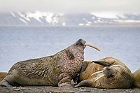 Threatening behavior between two male Atlantic walruses, Odobenus rosmarus rosmarus, Lagoya, Svalbard, Norway, Europe, Arctic Ocean