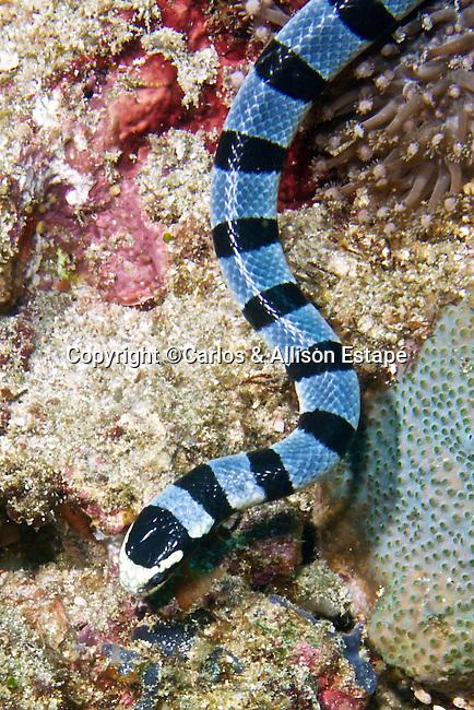 Laticauda colubrina, Banded sea snake, Indonesia