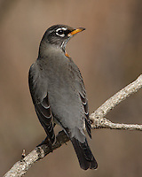 A migratory songbird of the thrush family.