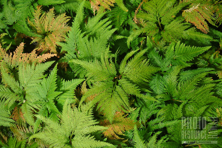 Delicate leaf ferns, often used to make lei.