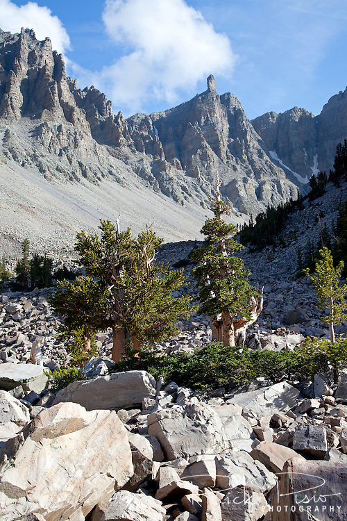 Bristlecone Pine trees stand amongst the talus below Wheeler Peak in Great Basin National Park.