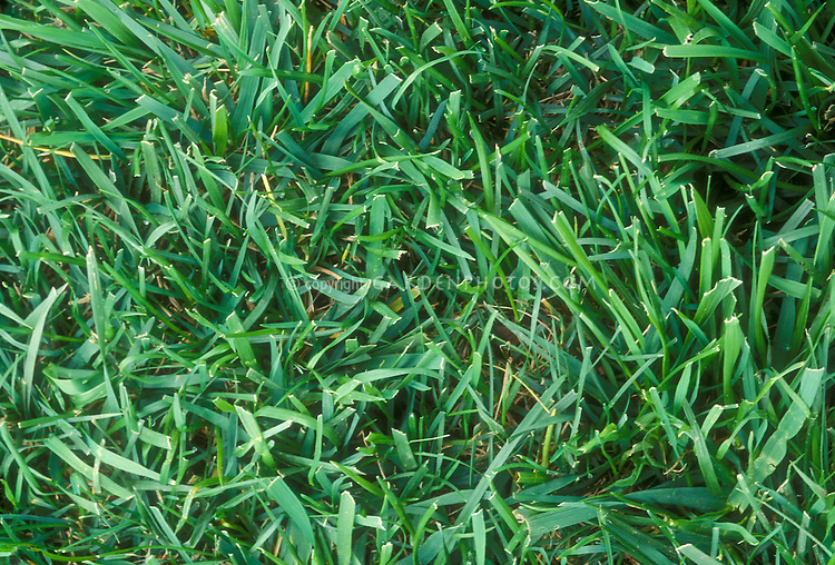 Kentucky bluegrass and tall fescue grass pasture mix