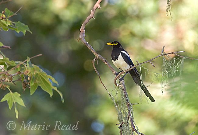 Yellow-billed Magpie (Pica nuttalli), Nojoqui Falls County Park, Santa Barbara County, California, USA