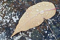 A rain drop covered leaf lies on a lichen covered rich at The Clearing, in Ellison bay, Door County, Wisconsin.