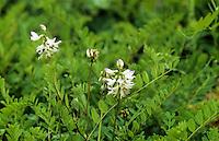 Alpen-Tragant, Alpentragant, Astragalus alpinus, Alpine milkvetch