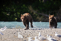 Grizzly Bears at the confluence of the Russian River and Kenai River, Kenai Peninsula,  Chugach National Forest, Alaska.