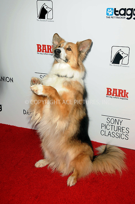 WWW.ACEPIXS.COM . . . . .  ....April 17 2012, LA....Kasey the dog arriving at the premiere of 'Darling Companion' at American Cinematheque's Egyptian Theatre on April 17, 2012 in Hollywood, California.....Please byline: PETER WEST - ACE PICTURES.... *** ***..Ace Pictures, Inc:  ..Philip Vaughan (212) 243-8787 or (646) 769 0430..e-mail: info@acepixs.com..web: http://www.acepixs.com