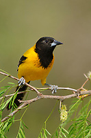 Adult Audubon's Oriole (Icterus graduacauda) perched in a mesquite. Starr County, Texas. March.