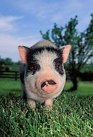 I am not short I am well balanced: Piglet in grass, Missouri USA
