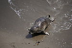 harbor seal moving